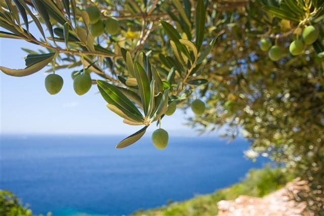 Olivos座落落於⼟土耳其知名橄欖油產區──愛 琴海海區Edremit。Edremit素有「橄欖油之都(Capital of Olive Oil)美譽。(123RF)