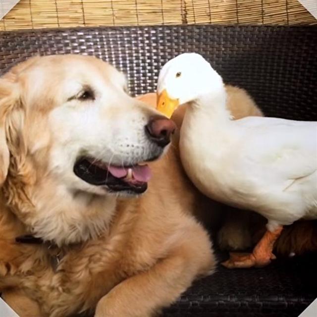 一隻鴨和一隻狗不可思議的友情。(影片截圖)