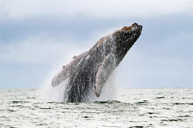 美國36歲男子在加州舊金山外海衝浪,撞上一頭座頭鯨,驚險但未造成傷害。(LUIS ROBAYO/AFP/Getty Images)