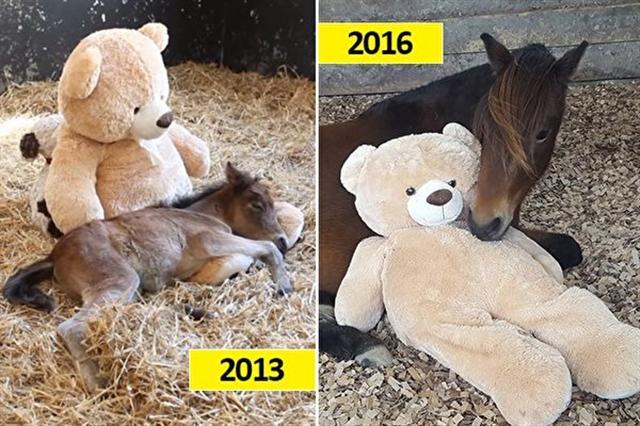 微風(Breeze)時常與牠的泰迪熊交流、擁抱著牠入睡;三年後,一眼就認出養母,又是聞又是舔,還銜起熊參觀牠的馬厩。(臉書圖片,影片截圖/大紀元合成)