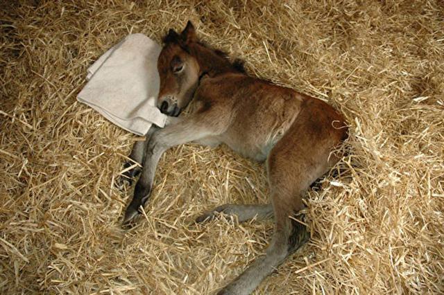 出生3天的微風(Breeze),一副病弱的樣子。(The Mare & Foal Sanctuary/Facebook)
