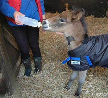 到第4天,牠已經在思念自己的媽媽。(The Mare & Foal Sanctuary/Facebook)