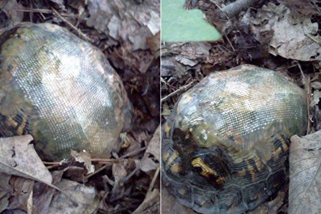 背著玻璃纖維龜殼,車禍受傷的烏龜,健康的活著。牠的再次出現,帶給獸醫驚喜。(臉書圖片/大紀元合成)