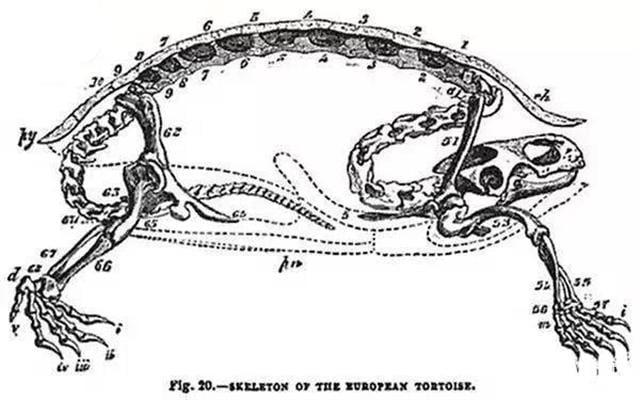 烏龜的脊椎骨有一部分是長在龜殼上的。(新唐人)