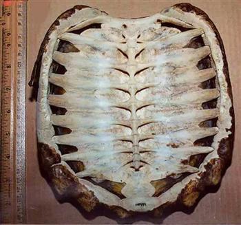 龜殼的內側也就是烏龜的脊髓跟肋骨。(新唐人電視台)