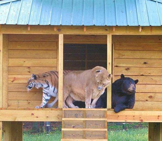 BLT三人組從來形影不離。(Noah's Ark Animal Sanctuary: home of the BLT/Facebook)