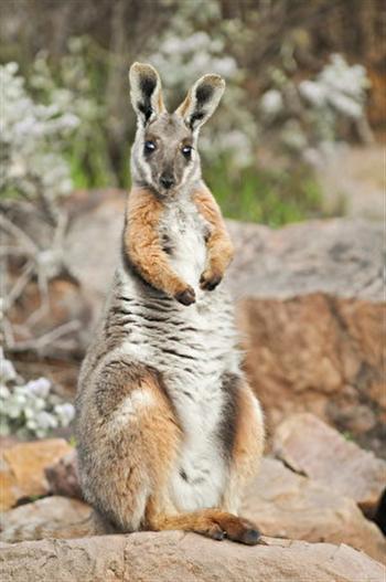 圖為一隻黃足岩袋鼠。( Australian Wildlife Conservancy)