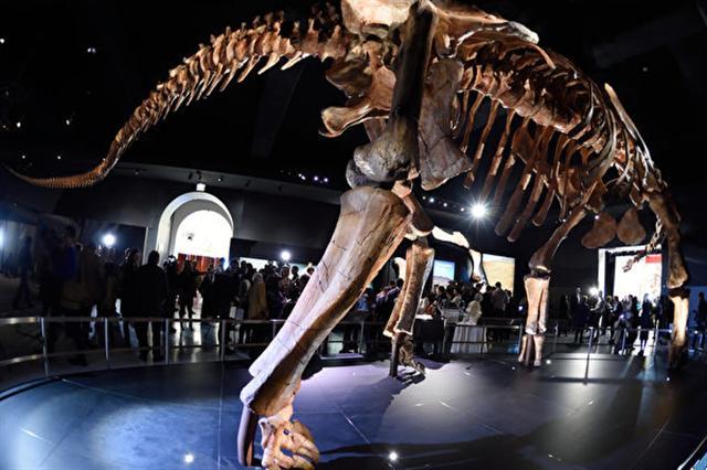 3年前在南美洲巴塔哥尼亞地區出土的巨大恐龍新品種泰坦巨龍,9日被正式命名為「巴塔哥泰坦巨龍」。圖為2016年1月14日,泰坦巨龍在紐約美國自然歷史博物館展出。(DON EMMERT/AFP)