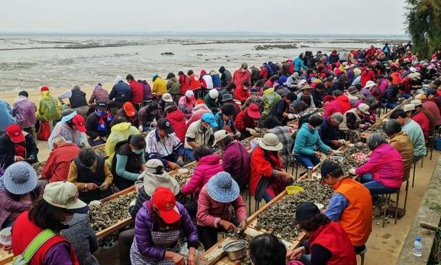 約200多公尺的海堤擠了上千人一起剝蚵,場面浩大。