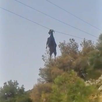 山羊掛在電線上 是在練拉單槓?