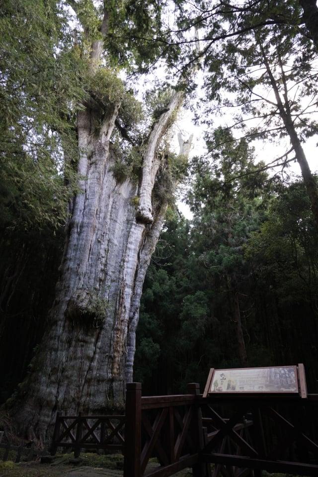 從水山線的終點,沿著步道可探訪阿里山上年紀最大、已經2,700歲的水山巨木。(林務局提供)