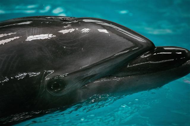 日本千葉縣一間水族館1月底關閉停業,園內的海豚、企鵝卻留在原地,乏人照顧。圖為示意圖。(ADRIAN CATU/AFP/Getty Images)