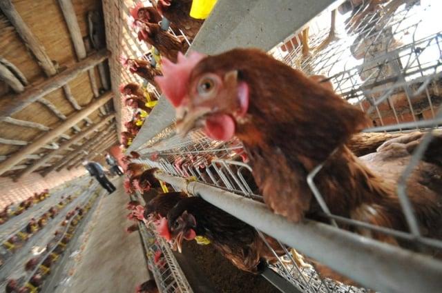 貴州黔南州惠水縣發生一宗家禽H5N6亞型高致病性禽流感疫情。圖為中國運城一個養雞場。(AFP)
