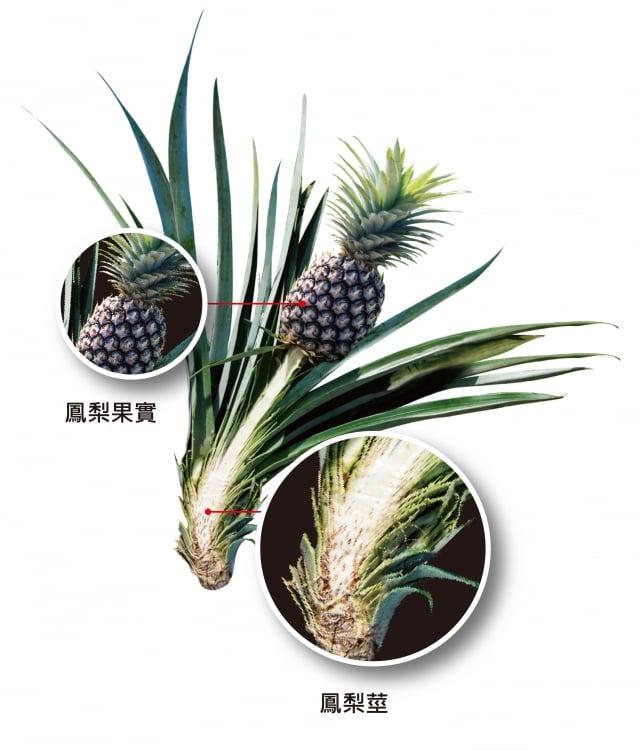 由鳳梨莖萃取去痂酵素。(嘉年生化提供)