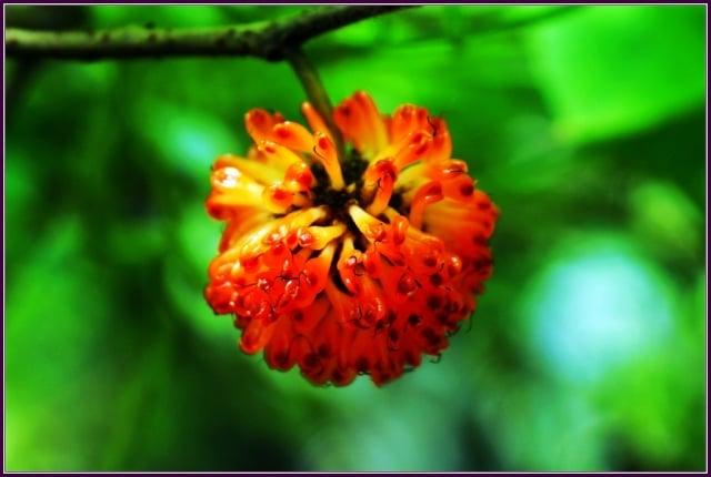構樹Broussonetia papyrifera(L.)桑科。(攝影/鄭清海)