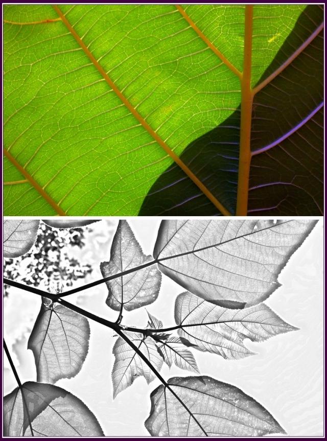 早在詩經裡便已有記載,還可以拿來做製作鈔票的原料,所以又叫做鈔票樹。(攝影/鄭清海)