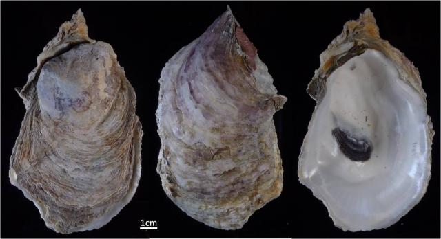 雙線牡蠣是農委會水試所調查發現的新種牡蠣,在屏東縣大鵬灣具有穩定的族群,且依分布海域推測雙線牡蠣應為台灣原生物種。