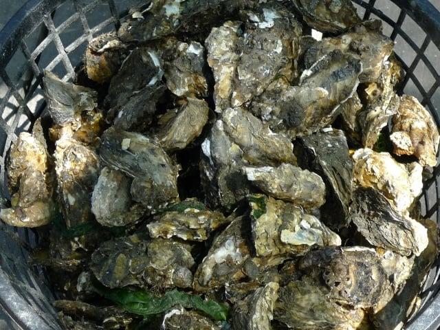 農委會水試所調查發現,屏東縣大鵬灣出現2新種牡蠣,矮牡蠣是其中之一,是否屬外來種,需進一步釐清。(水試所提供)