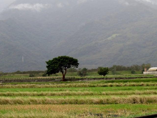 秋收後的伯朗大道,雖沒有綠色的稻田,蒼黃的田埂有著另一種動人的色彩。(攝影/記者鄧玫玲)