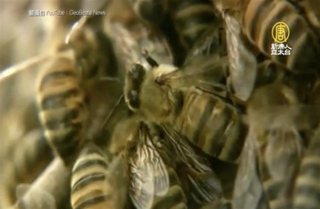 芬蘭赫爾辛基大學一支研究團隊相信,他們已研發出全球第一支能幫蜜蜂抵抗疾病的疫苗。(Getty Images)