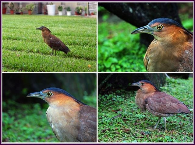 成鳥有黑冠,面孔和脖子為紅棕色,背部為黑暗的紅棕色,腹部有細條紋,翼黑。(攝影/鄭清海)