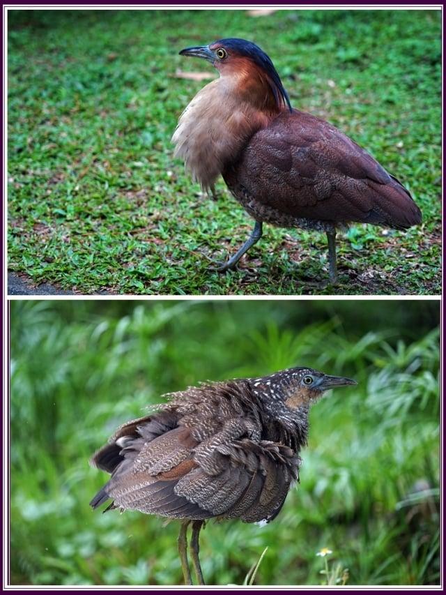 又稱黑冠鳽或黑冠虎斑鳽,俗稱大笨鳥。(攝影/鄭清海)