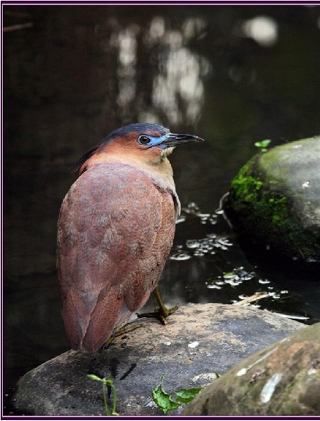 黑冠麻鷺Gorsachius melanolophus鷺科。(攝影/鄭清海)