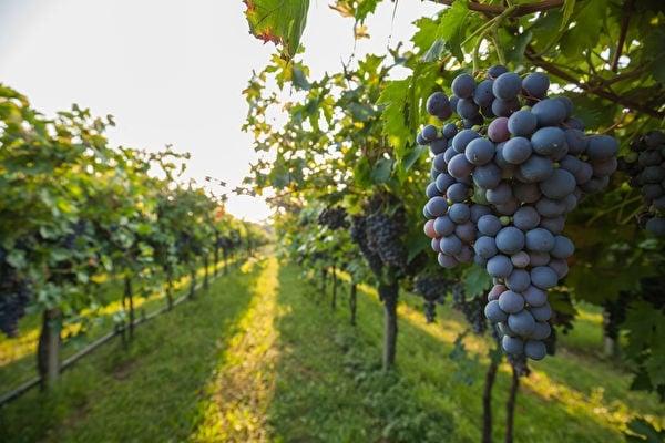 陶醉在古典樂裡,葡萄更加甜美。(Lukasz Szwai/Shutterstock)