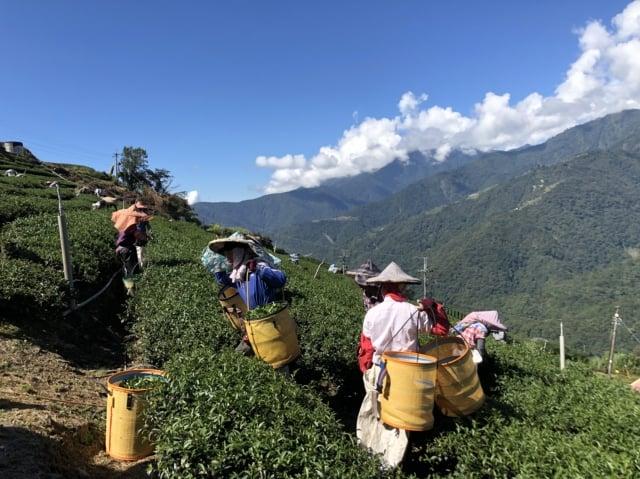 採茶農人辛勞身影在翠綠的茶樹間移動。(攝影/曾晏均、溫春興)