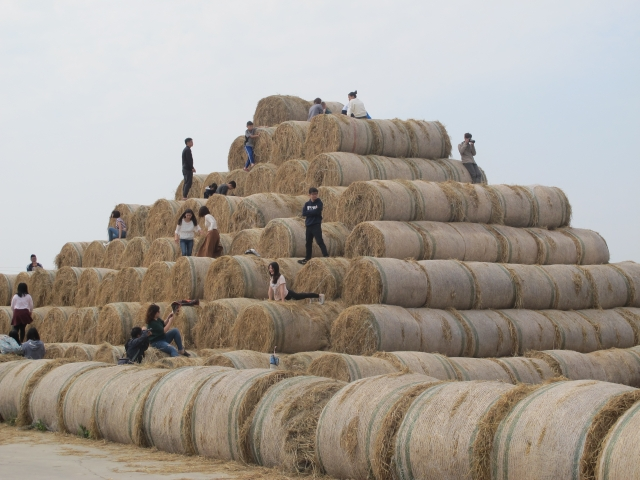 一捲捲的稻草,遠看宛如巨型的捲心酥,矗立在雲林高鐵站往斗六聯外道路的田園間。