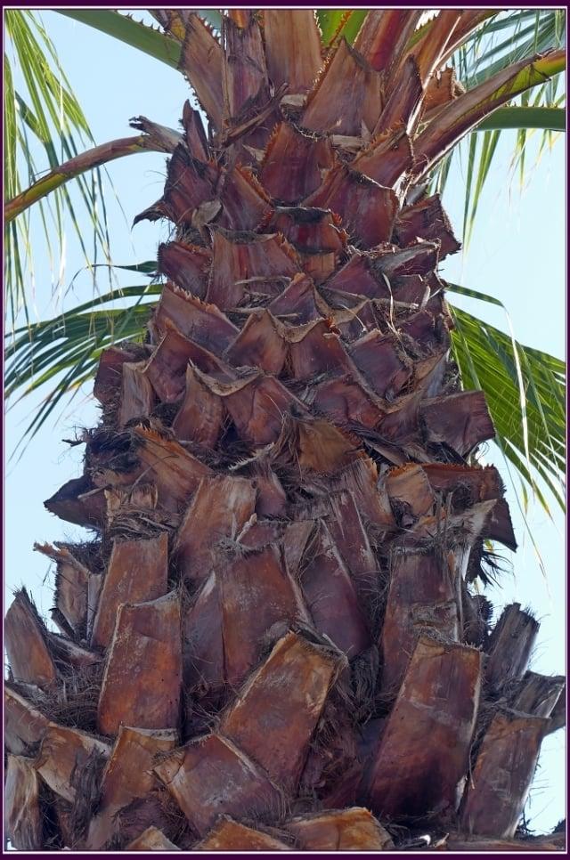 樹幹基部膨大,去掉被覆的枯葉,呈淡褐色,可見明顯的環狀葉痕和不明顯的縱向裂縫,葉基成交叉狀。(攝影/鄭清海)