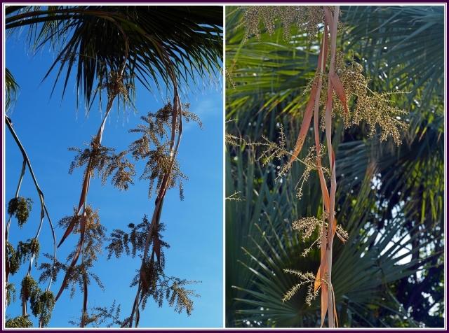 花序大型,長於葉而下垂,具5~6 個大的分枝花序,每分枝著生2~5個聚繖圓錐花序。(攝影/鄭清海)