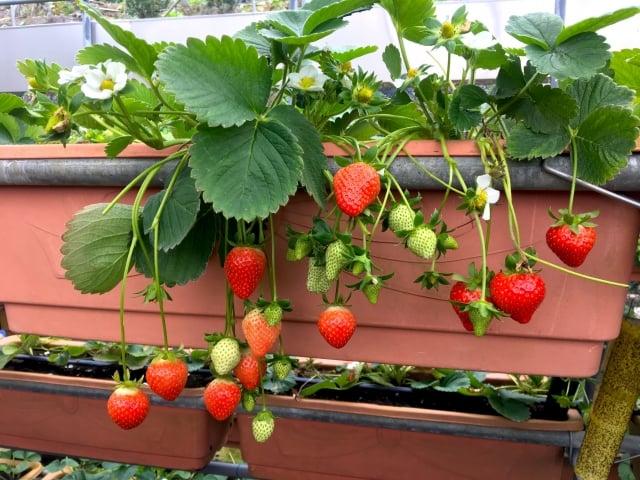 結實累累的草莓。(廖蔚尹/攝影)