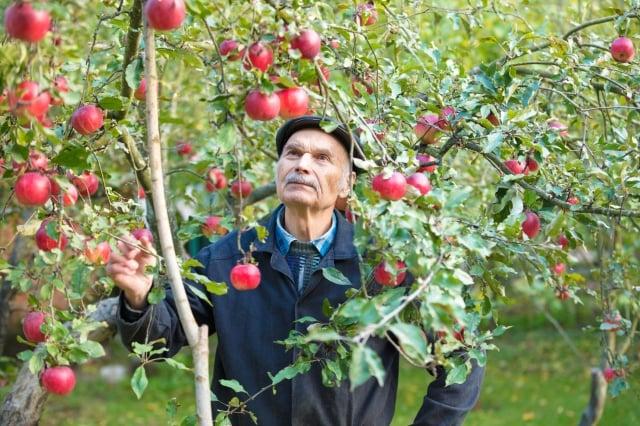 《大紀元》曾刊登一篇名為〈日本農夫花11年種出的蘋果,只要一口全身細胞都感動〉的報導,記錄一位日本傳奇人物木村秋則的事蹟。(Fotolia)