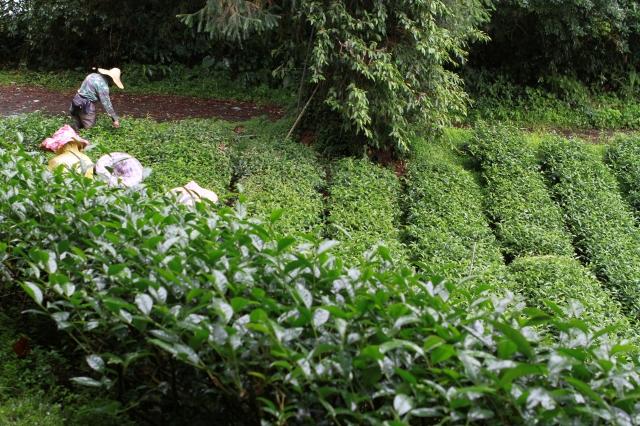 劉充霈契作的有機茶園,不使用農藥,茶樹也可以很漂亮,而且產量也絲毫不會減少。(老爺兩提供)