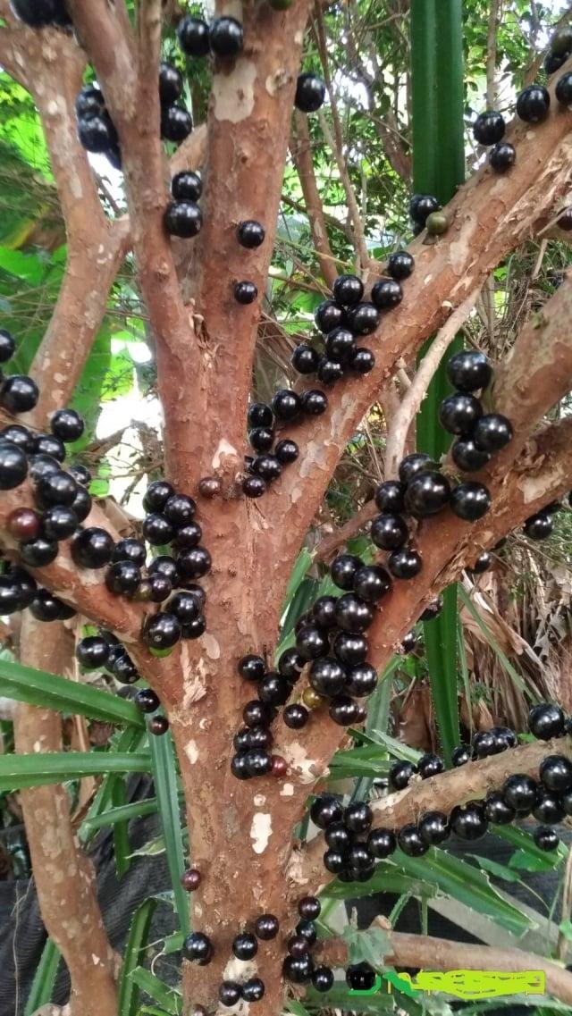 樹葡萄多汁較大,皮比葡萄厚,味似山竹、香芭樂、釋迦、鳳梨等多種風味。