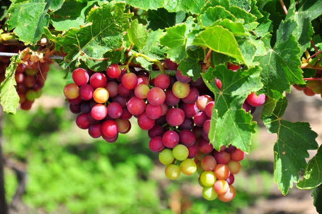 將葡萄釀造為酒,在人類歷史上已行之有年。(Fotolia)