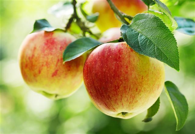 蘋果可健脾益胃、潤肺、養心補血益氣、清熱解暑、醒酒、生津止渴、和中止瀉止嘔、下氣解鬱除煩。(Fotolia)