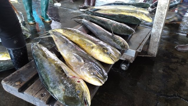 黑鮪魚前鋒部隊「鬼頭刀」進入盛產期,第一鮪預估4月中旬報到。(東港區漁會提供)