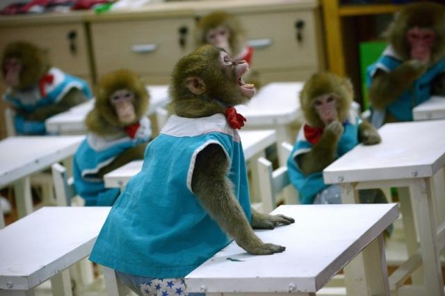圖為2016年1月26日,中國山東省,12隻猴子正在動物園學校接受培訓。(WANG ZHAO/AFP)