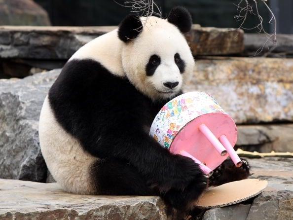 熊貓入住哥本哈根 丹麥憂中共政治手段