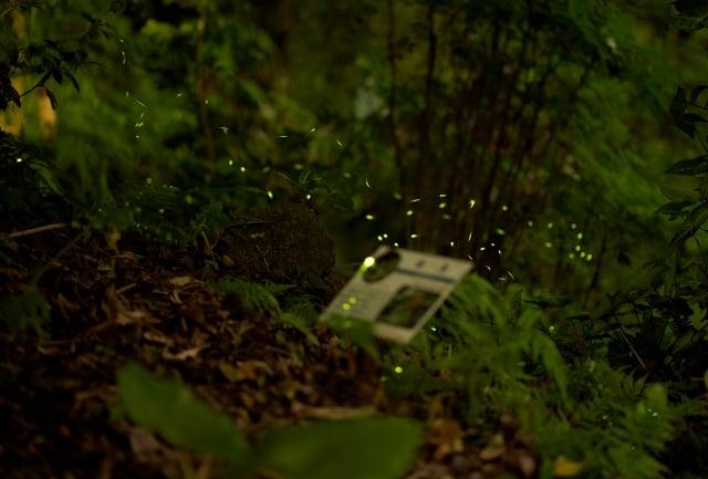 路燈照不到的黑暗草叢處,是螢火蟲容易出現的地方。(攝影/青羽)