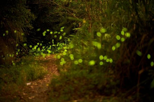 光害少、有水潭、溪流、溝渠、有蛙鳴、與猛禽盤旋等處,較有機會發現螢火蟲。(攝影/青羽)