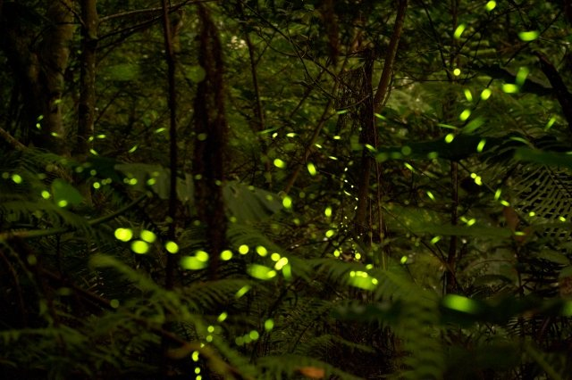 飛舞在夜空中的螢光小天使們。(攝影/青羽)