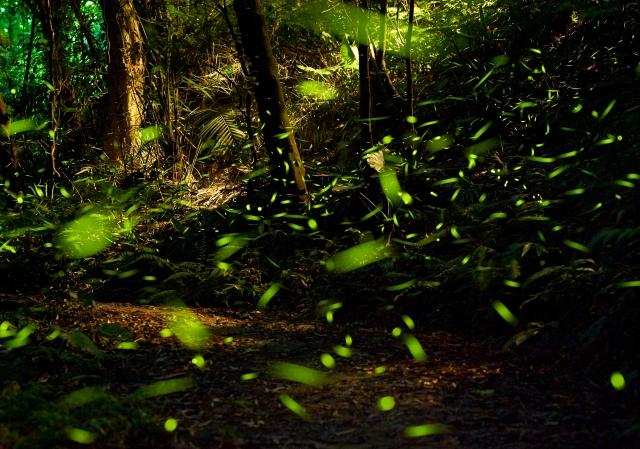飛旋的螢火蟲,是森林的光之精靈。(攝影/青羽)