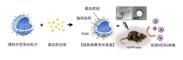 冠狀病毒奈米疫苗注入小鼠,結果顯示疫苗強化了體內的T細胞,可有效毒殺病毒,達到百分之百的動物存活率。(中研院提供)