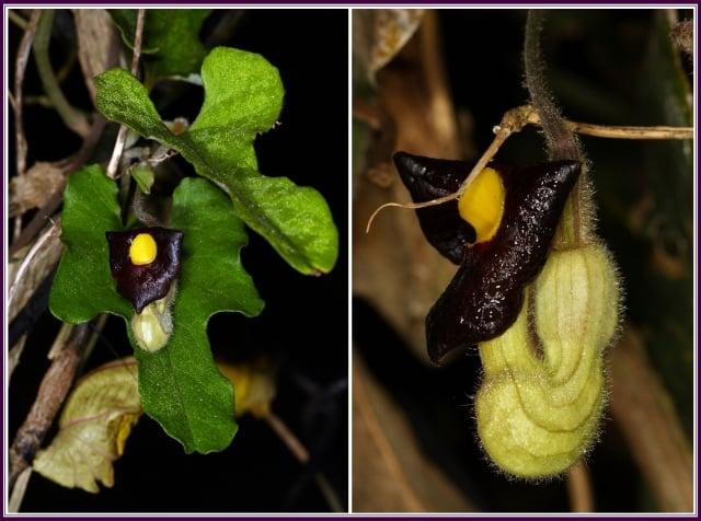 幼蟲的寄主,主要為有毒性的馬兜鈴科馬兜鈴屬各種植物。(攝影/鄭清海)