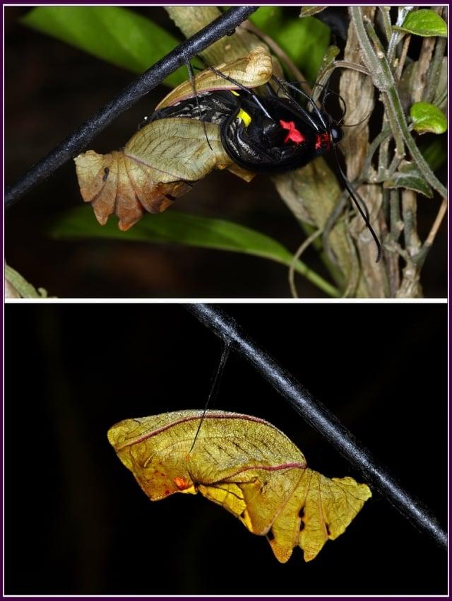 幼蟲取食寄主植物的葉片,牠的寄主為有毒性的馬兜鈴科植物。(攝影/鄭清海)