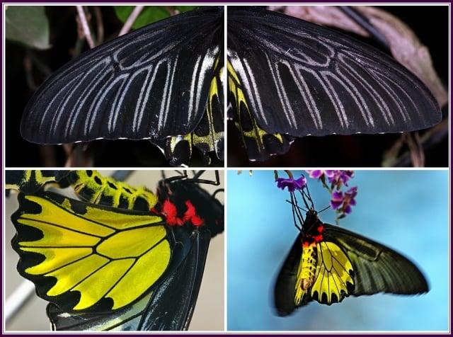 雌蝶通常較雄蝶大型,後翅黃色斑紋差別明顯,雌蝶後翅金黃色斑塊內沿翅室內側,有一排淚滴形黑斑,雄蝶則否。(攝影/鄭清海)