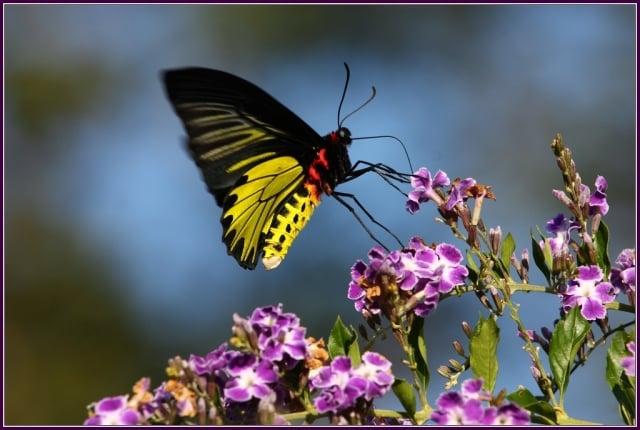 黃裳鳳蝶Troides aeacus鳳蝶科。(攝影/鄭清海)